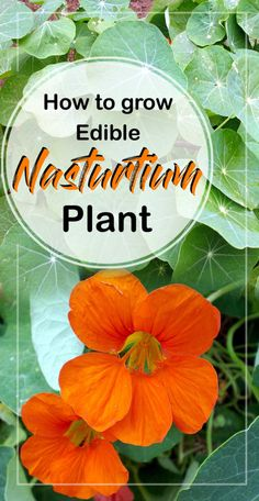 how to grow, Care for, and harvesting of the beautiful edible flower Nasturtium. Tropaeolum is commonly known as Nasturtium perennial herbaceous plant. Container Flowers, Container Plants, Container Gardening, Plant Containers, Urban Gardening, Gardening Tips, Growing Gardens, Growing Plants, Spring Flowering Bulbs