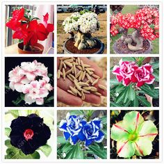 2pcs/bag Desert Rose seeds,Adenium Obesum Seeds Double Petals bonsai flowers Seeds 100% true seed potted plant for home garden