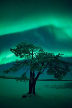 Lonely Lapland Tree, Aurora Background