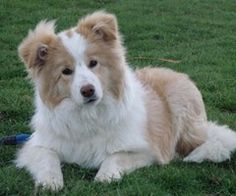 Golden Border Collies - looks just like one I had growing up - 'Lucky' - what a sweetheart she was.