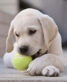 labrador retriever puppies Louie the Yellow Lab Pictures 7384 Labrador Retrievers, Golden Retrievers, Retriever Puppies, Cute Puppies, Cute Dogs, Dogs And Puppies, Doggies, Puppy Images, Puppy Pictures