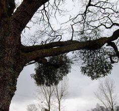 Quercus Chêne a gui Isigny-le-Buat