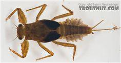 Suborder: Pannota - Family: Ephemerellidae