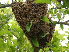 Honey bee swarm prevention tips for beekeepers. Beekeepers want to stop bee swarms Honey Bee Swarm, Obscure Facts, Birth And Death, Bee Keeping, Natural, Harvest, How To Find Out, Nature Photography, Fruit