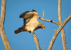 A Thing of Beauty -  juvenile Red-shouldered Hawk (Buteo lineatus) | Show Me Nature Photography