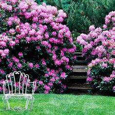 Rhododendrons: This shrub is an evergreen so it will look good year round. The shrub blooms in spring and summer and keeps good color in fall and winter interest. Plant in shady to part shade spots in moist, well-drained soil. It tolerates wet soil too and is deer resistant. Grows 25ft by 25ft so keep it trimmed back if you want to keep it manageable.