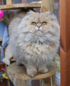 Selkirk Rex | I'm pretty sure a Selkirk Rex would make my life complete.