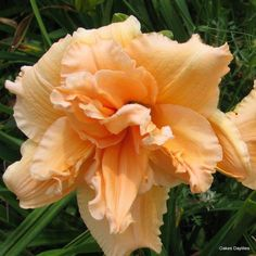 Daylily of the Week - Madge Cayse Sun Perennials, Wonderful Flowers, Flowering Shrubs, Day Lilies, Garden Plants, Planting Flowers, Seasons, Rose, Gardening