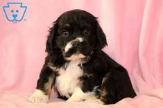 She is an adorable Cocker Spaniel ready to become the newest member to your family. Spaniel Puppies For Sale, Cocker Spaniel Puppies, Cute Puppies, Cookie, Dogs, Animals, Cocker Spaniel Pups, Biscuit, Animales