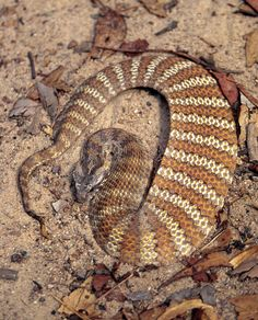 Common Death Adder (Acanthophis antarcticus) | Flickr - Photo Sharing!