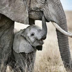 Adorable. .!! This pic made may day...!!Credit : @onsafarikenya - A young elephant often reaches into its mothers mouth to find out what is good to eat. ----------------------------------- . #elephant #elephants #elephantlove