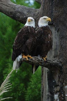 Bald eagles are such beautiful creatures!