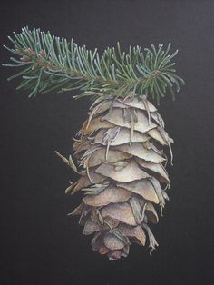 Douglas Fir Cone. Pine, Fir and Spruce – used to invoke The Lord of the Greenwood. A powerful cleanser when added to a herb mixture as needles.
