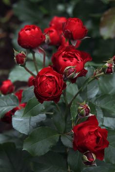 Beautiful Rose Flowers, Flowers Nature, Exotic Flowers, Beautiful Gardens, Beautiful Flowers, Rose Flower Pictures, Bloom, Good Morning Flowers, Cabbage Roses
