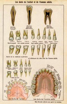Teeth Adult Children French Vintage by MarcadeVintagePrints Medical Drawings, Medical Art, Dentist Cartoon, Dental Assistant Study, Image Collage, Dental Art, Medical Anatomy, Vintage Medical, Medical Illustration