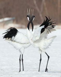Japanese crane mating dance
