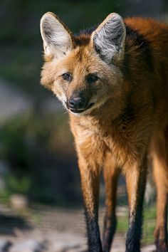 Cute Wild Animals, Unique Animals, Coyotes, Maned Wolf, Wolf Husky, Wolf Love, Beautiful Wolves, Extinct Animals, Wild Dogs