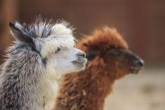 7 best top 6 reasons to love alpaca images fair trade  7 best top 6 reasons to love alpaca