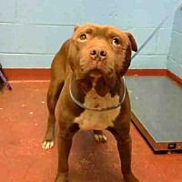 ATLANTA, GA - BROWNIE is a American Pit Bull Terrier for adoption in Atlanta, GA who needs a loving home.