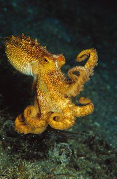Beautiful octopus pictures: masters of camouflage and nimble .- Beautiful octopus pictures: masters of camouflage and nimble hunters National Geographic Underwater Creatures, Underwater Life, Kraken, Octopus Pictures, Vida Animal, Wild Life, Beautiful Sea Creatures, Weird Sea Creatures, Initial Tattoo