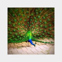 Pecking Peacock fine art wildlife photography by UninventedColors, $15.00