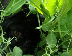 Princess and the peas princess the black pug hiding from the heat