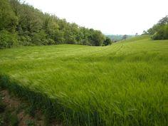 Il vento tra le spighe di grano