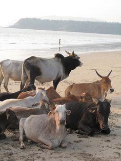 Cows enjoy the beach too.