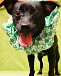 Petfinder Adoptable Dog | Schipperke | Titusville, FL | Coco