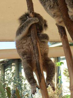 Sleepy baby koala at Lone Pine Koala Sanctuary, Brisbane