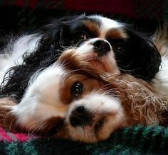 his dogs, Nicholas & Rosie, King Charles Cavalier Spaniels I Love Dogs, Cute Dogs, Roi Charles, Cavalier King Charles Spaniel, King Spaniel, Cockerspaniel, Spaniel Puppies, Mundo Animal, Dog Breeds