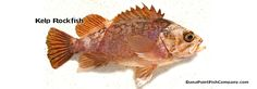 Kelp Rockfish - Sebastes atrovirens.