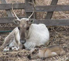 Finnish reindeer and her baby
