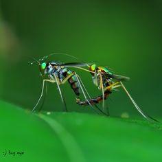 loving U  by bug eye :), Prepare mating of The long-legged flies in Dolichopodidae family.