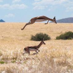GAZELAS dão saltos enormes e em zig-zag para fugirem dos seus predadores. Habitam as estepes e desertos de África e da Ásia.
