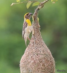 Baya weaver at work Cute Birds, Pretty Birds, Beautiful Birds, Beautiful Pictures, Good Day Images, Jesus Christ Images, Bird Gif, Morning Greetings Quotes, Cinemagraph