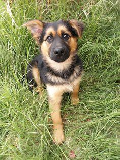 Bella the german shepherd/husky mix :) by faith mcmillan, via Flickr