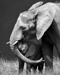 Black And White Photography-Elephants