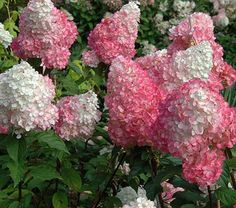 Hydrangea paniculata Vanilla Strawberry™