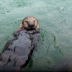 """Rescued sea otter Rialto (a fan fave formerly known as """"the world's cutest baby otter""""), likes to make his presence known with high-pitched squeaks. #YouOtterKnow #seaotterawarenessweek"""