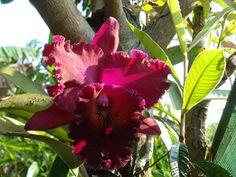 cattleya cultivar-hybrid