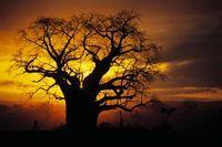 How to care for Baobab bonsai (e-how)