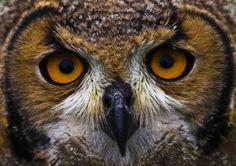 Bengal Eagle Owl | BENGAL-EAGLE-OWL.jpg