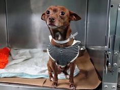 SAFE --- Brooklyn Center  LUCKY - A1019944  MALE, BROWN / WHITE, CHIHUAHUA SH MIX, 5 yrs OWNER SUR - EVALUATE, NO HOLD Reason MOVE2PRIVA Intake condition EXAM REQ Intake Date 11/07/2014, From NY 11358, DueOut Date 11/07/2014, Main Thread: https://www.facebook.com/photo.php?fbid=903624619650418