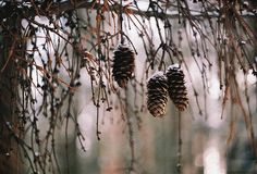 Pine Cones and Pine Trees