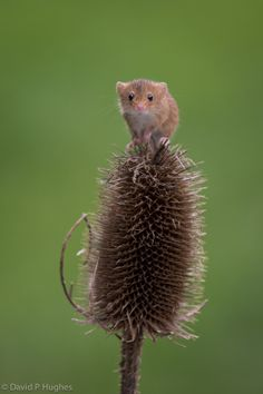 Harvest Mouse by David Hughes on 500px