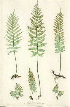 Henry Bradbury - Polypodium vulgare