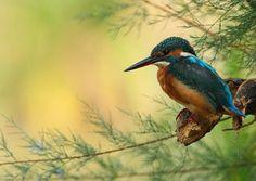 Kingfisher....photo by Daniele Pantanali - Pixdaus