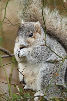 endangered Delmarva Fox Squirrel (Sciurus niger cinereus)