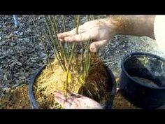 Propagating Clonal Rootstocks - YouTube